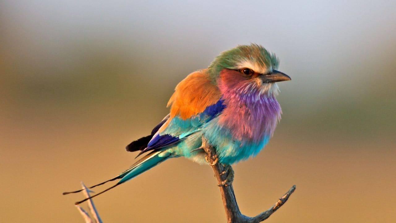 The lilac-breasted roller is an African member of the roller family of birds. These birds don't show sexual dimorphism, or differences in their males and females in appearance, except for males being marginally larger. They prefer open woodland and savanna, and are mostly absent in treeless places. Image: Pinterest/Lee Hunter