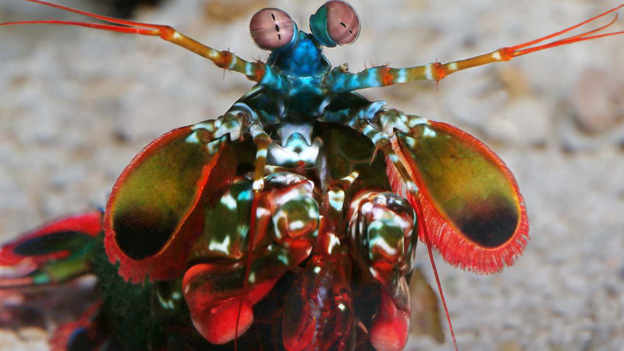 The Peacock mantis shrimp, also known as the harlequin mantis shrimp or the painted mantis shrimp or the clown mantis shrimp are a brightly-coloured crustacean species found in the warm shallow waters of the Indian and Pacific Oceans. Image: Tumblr/Monterey Bay Aquarium