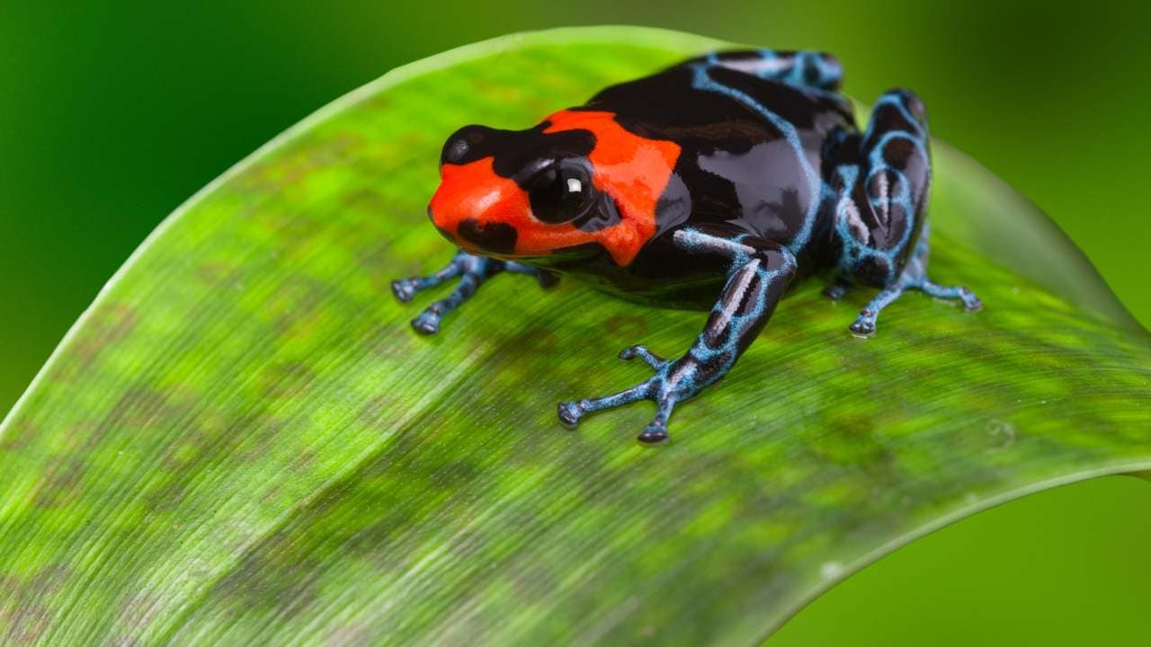Poison Dart Frogs are considered one of Earth's most toxic, or poisonous, species. Those colorful designs tell potential predators,