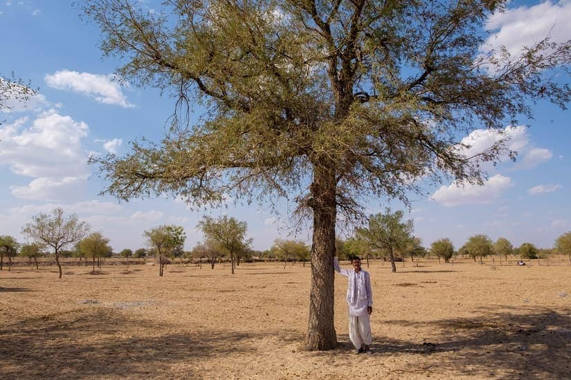 The Khejri tree is central to the story of the Bishnois