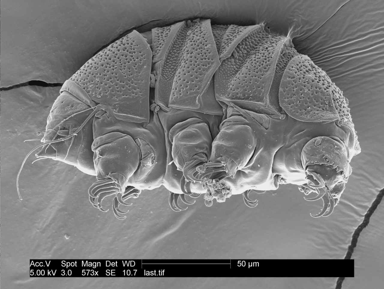 Tiny water bears could teach us how to survive extreme environments, science says