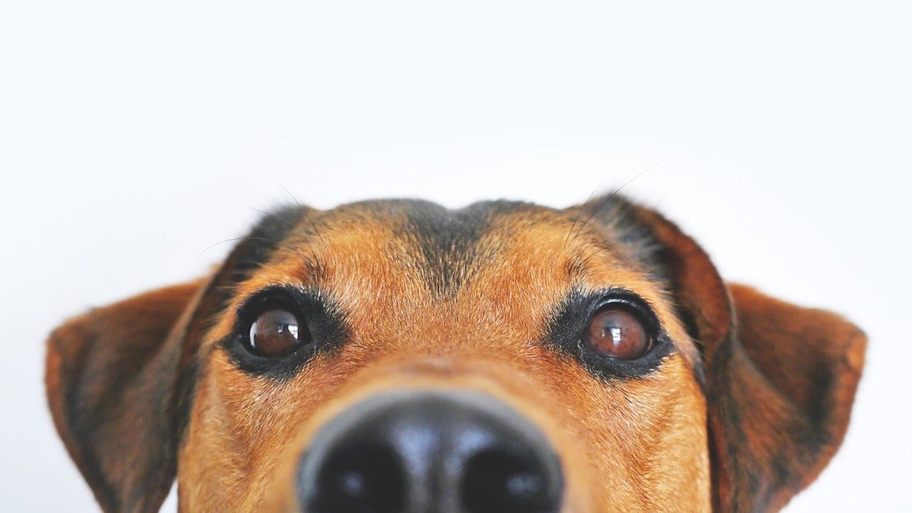 Dogs can use their sense of smell to recognise the specific scent of seizures