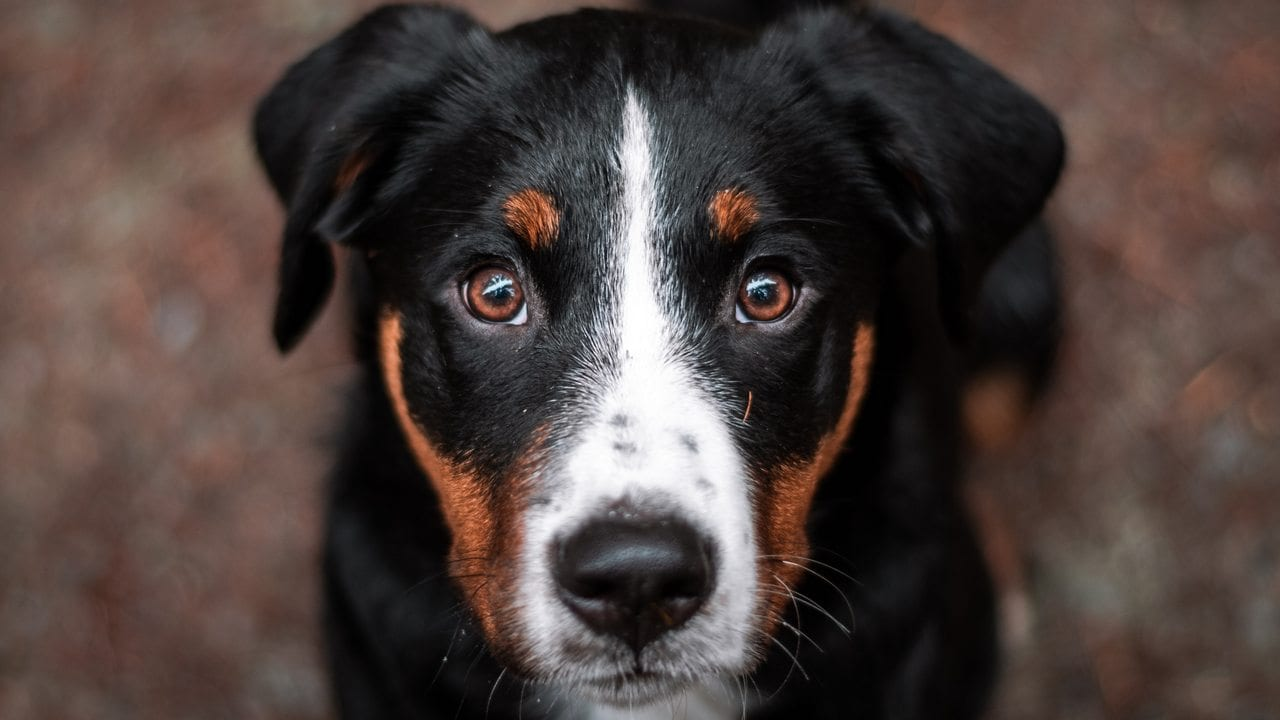Dogs can smell out cancer in blood with 97% accuracy, study reveals