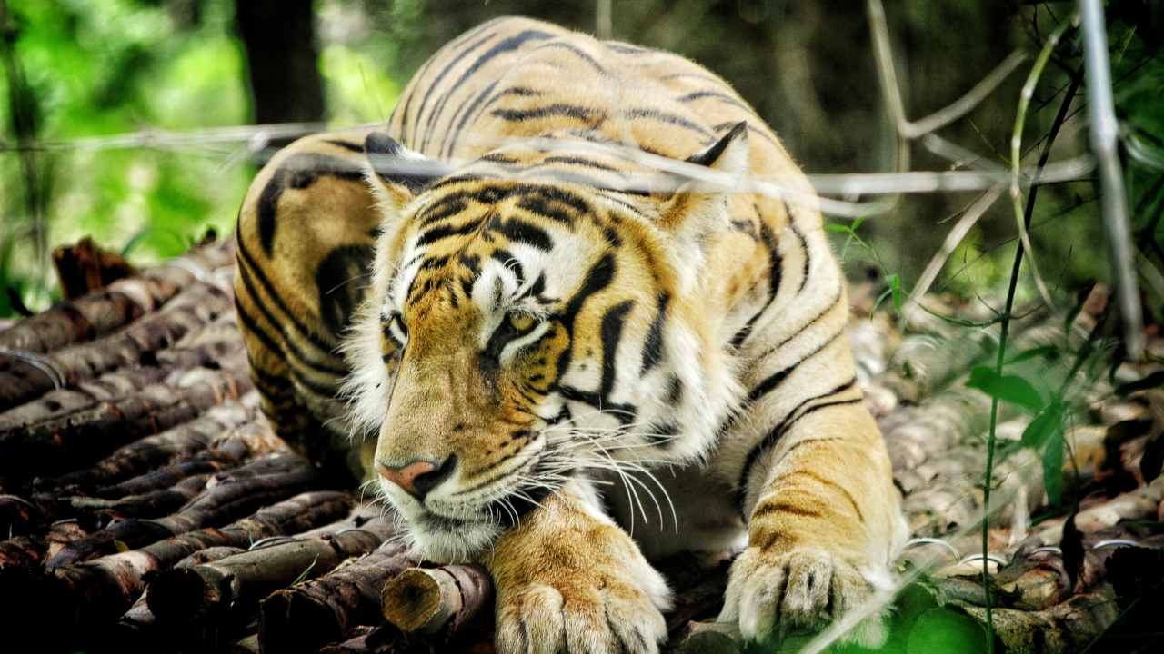 Wildlife Week 2019: Indias tiger numbers have increased by 33% in 5 years, but thats not necessarily good news