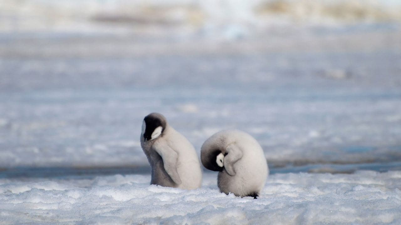 This 2010 photo provided by the British Antarctic Survey shows emperor penguin chicks at Antarctica's Halley Bay. Image: British Antarctic Survey
