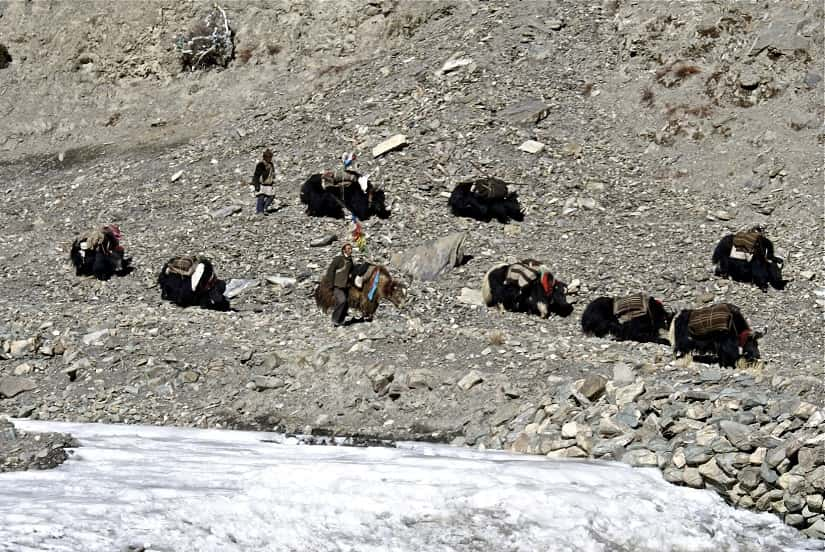 Yak herders moving their herds in Tingri- Southwest Tar Picture Courtesy- The land of snows-min