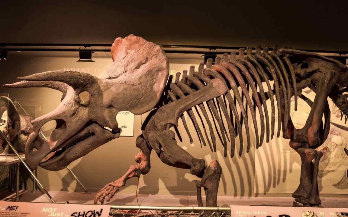 A dinosaur fossil displayed in a museum. Image credit: GoodFreePhotos