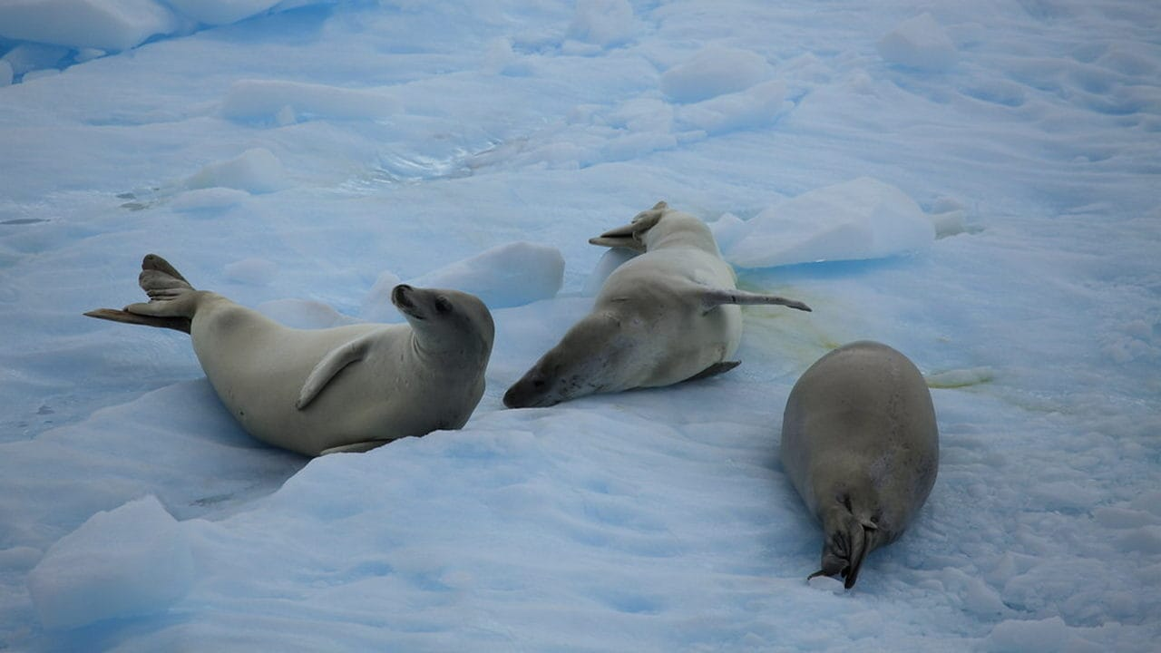 Seals lazing around in snow. Image credit: Flickr
