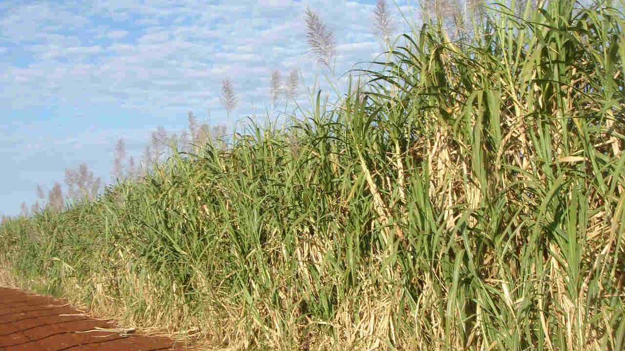 Brazils genetically modified sugar cane and sugar shipped to China for approval