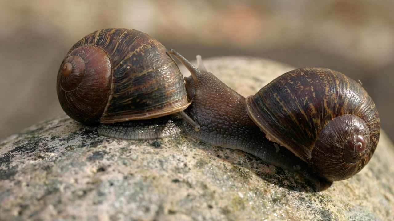 CRISPR snails: Tweaking a single gene in snails created mirror-image shell swirls
