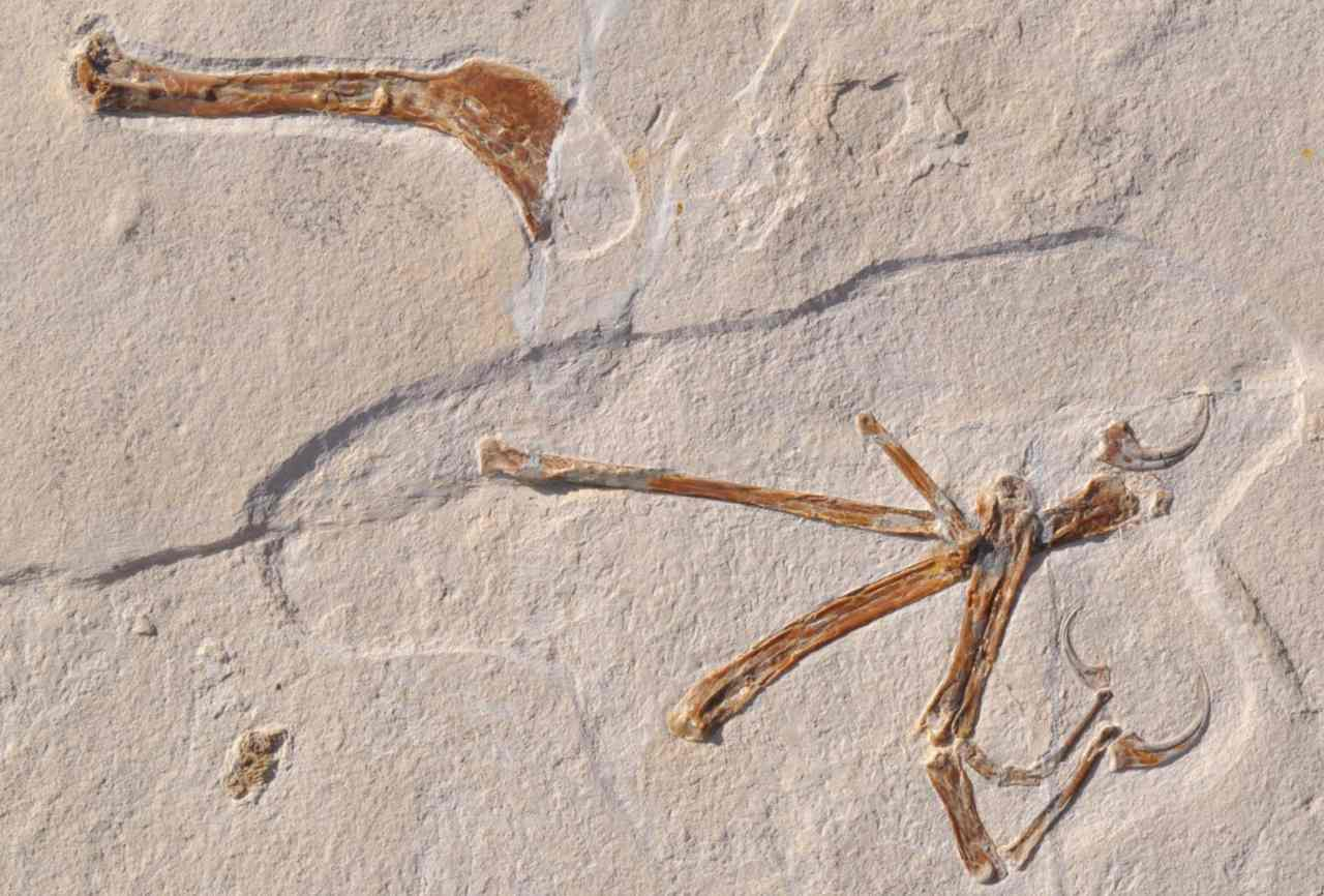 The illustration shows the wing of Alcmonavis poeschli as it was found in the limestone slab. Alcmonavis poeschli is the second known specimen of a volant bird from the Jurassic period. Image: SNBS