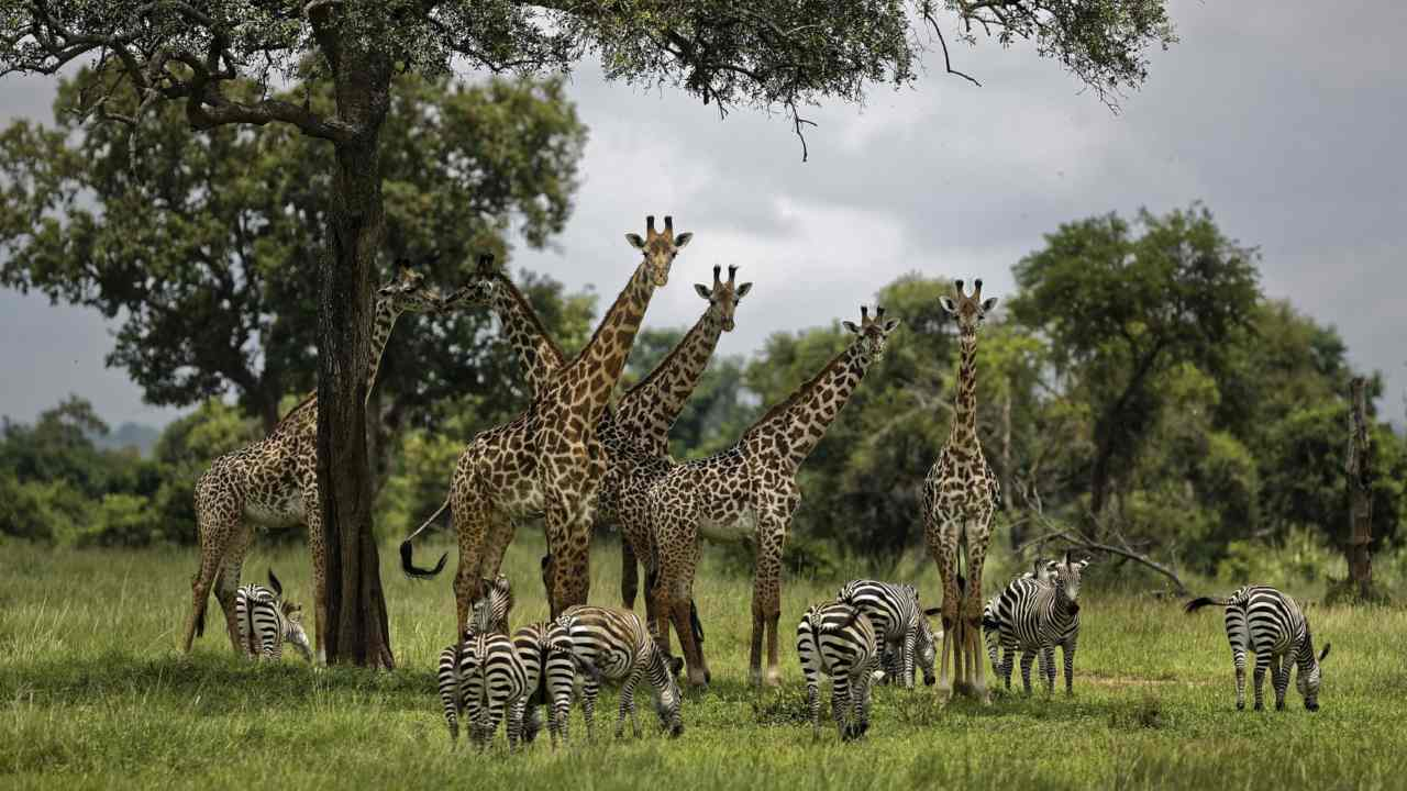Giraffes and zebras congregate under the shade of a tree in the afternoon in Mikumi National Park, Tanzania. Image: AP