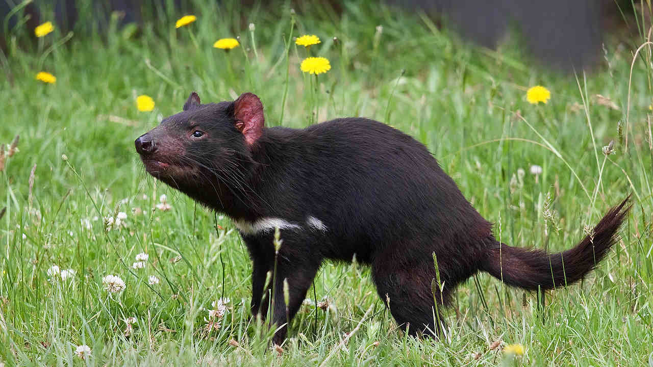 Tasmanian devils have evolved to cure the cancer that was killing their population