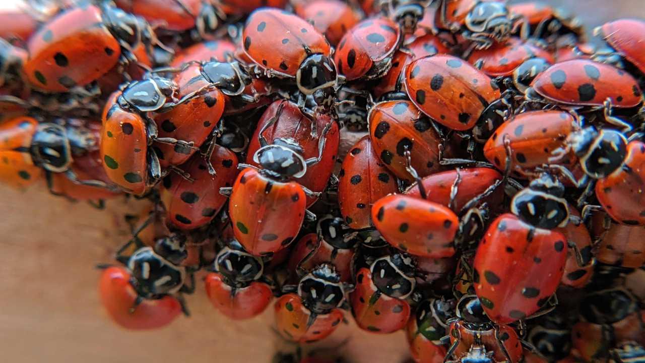 Ladybug swarm: Massive ladybug migration several kilometers wide picked up by radar