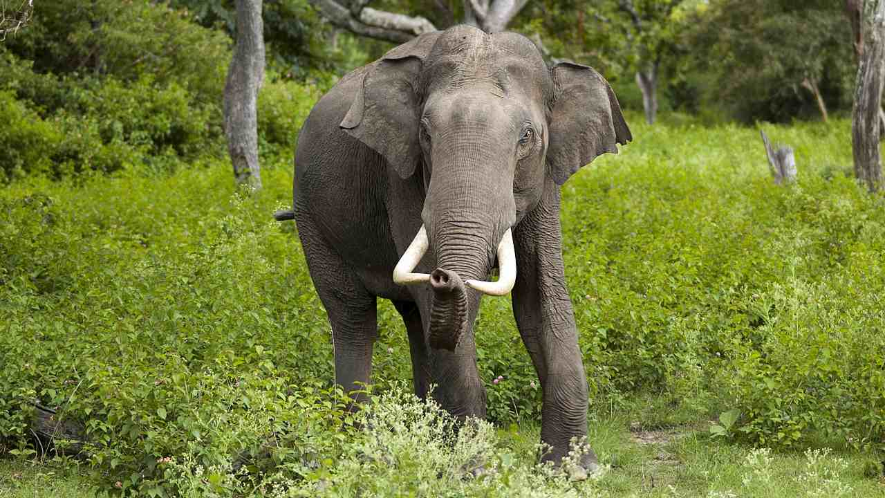 Asian elephants are forming gangs to survive threats from human-occupied areas