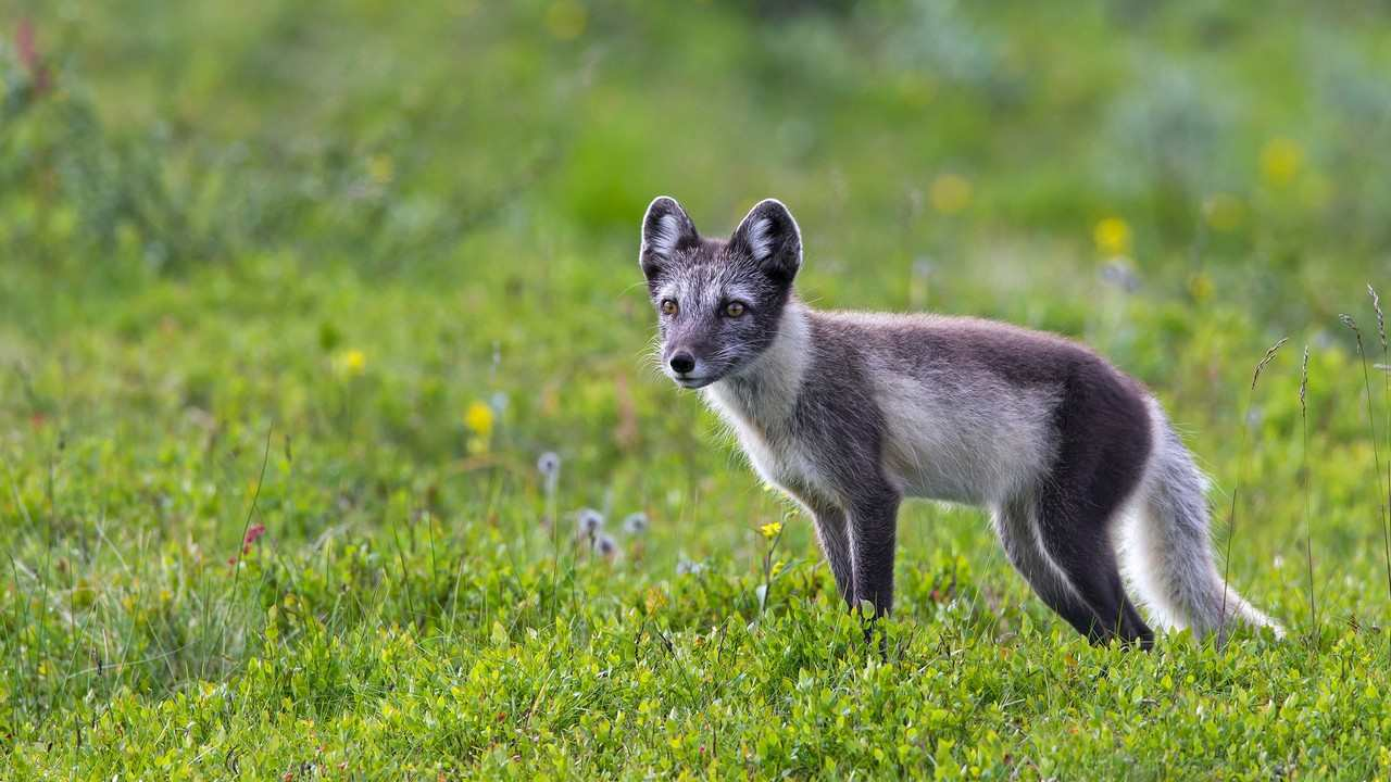 Arctic fox covers distance of 3,500 km from Norway to reach Canada in 76 days