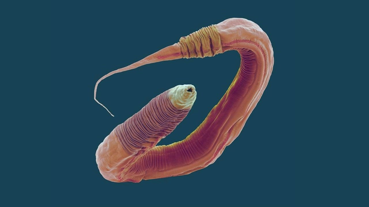 C elegans under a microscope.