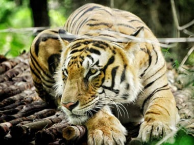 Bronx Zoo tiger becomes first animal to test positive for coronavirus in US; six other felines at New York zoological park also fall ill