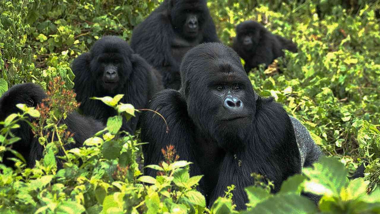 Like humans do: Gorillas form complex societies with tiers of old friends, family members