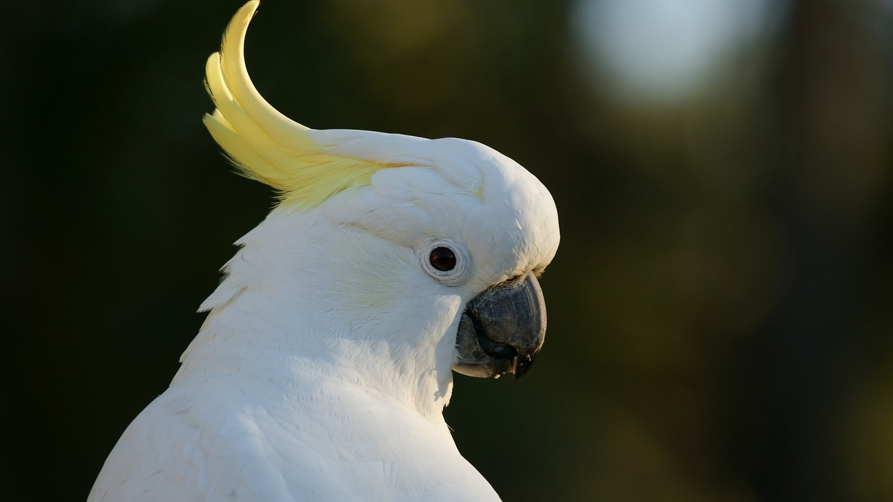 Birds like cockatoos, parrots can groove to the beat just as well as humans can