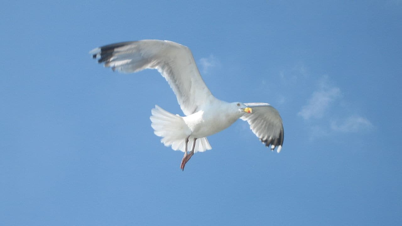 Stare at a seagull, it might not take your food. Image credit: Wikimedia commons