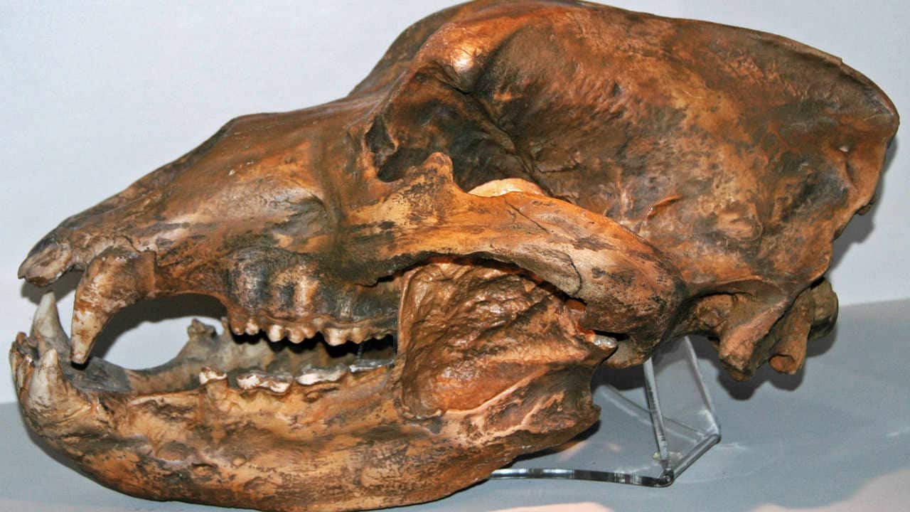 Genetic studies show that human beings lead to the extinction of the cave bear