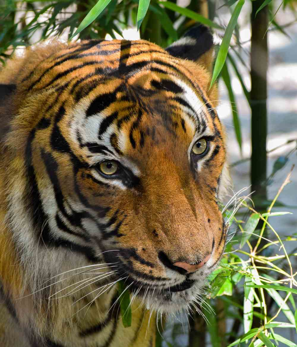 Historical conservation efforts show with the tiger population numbers in India
