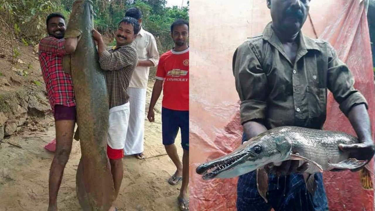 Arapaima (L) and alligator gar (R), two alien fish species found in Kerala's rivers after the 2018 floods. Arapaima is one of the world's largest freshwater fish, endemic to the Amazon in South America and the alligator gar is from the freshwater lakes of North America. Image credit: Biju Kumar.