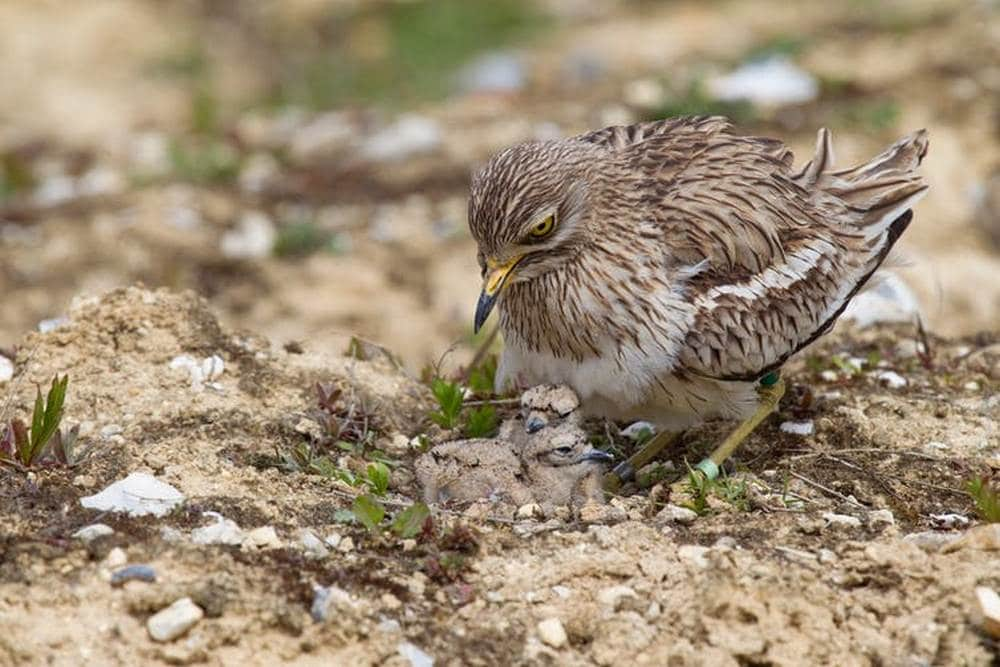 The Eurasian stone-curlew with well-camouflaged chicks. Chris Knights, Author provided