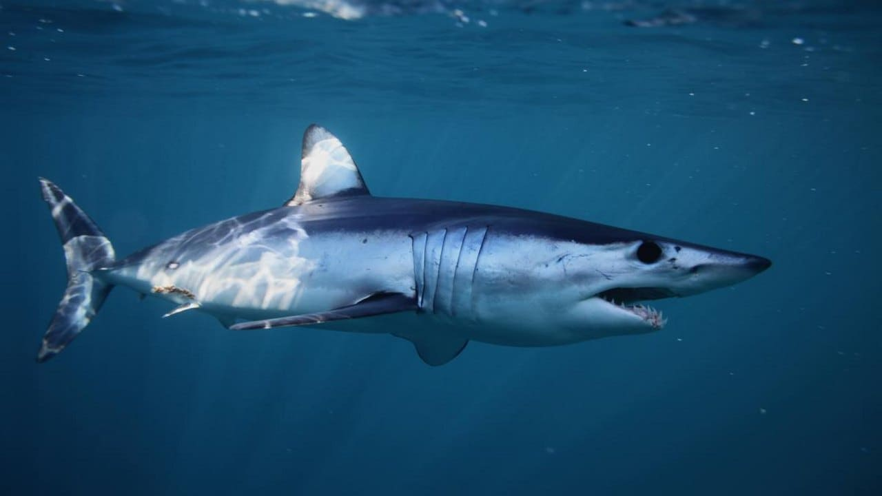 Protection for over a dozen shark species proposed by CITES, hit by opposition