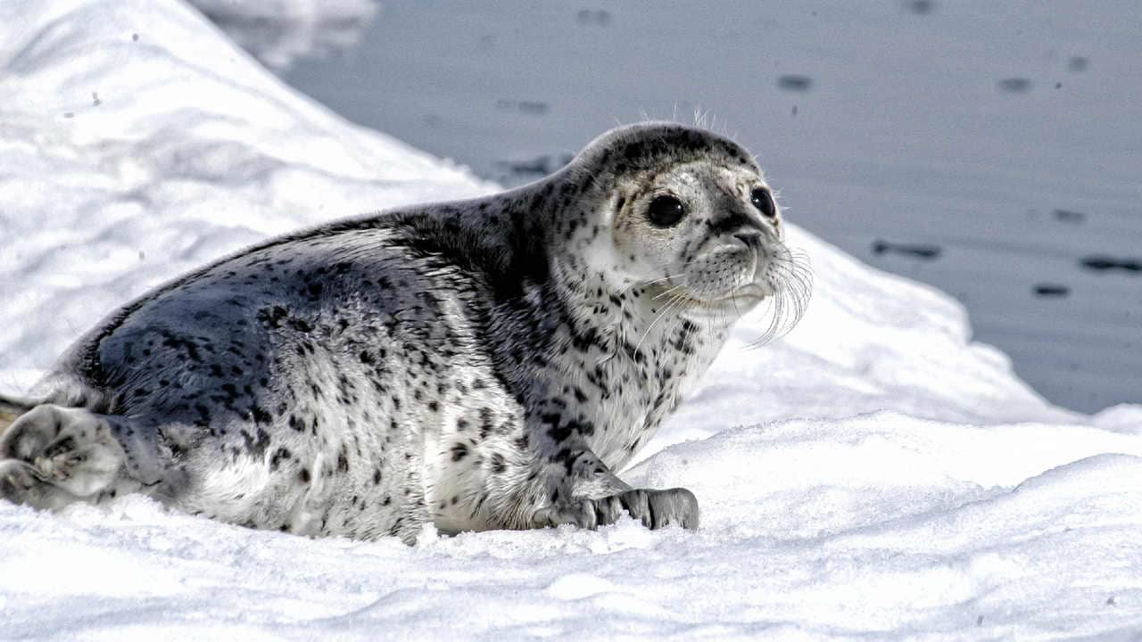 Alaskan seals are mysteriously dying since last year and authorities cant figure out why