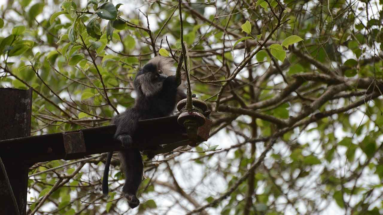 An infant lion-tailed macaque electrocuted in Valparai.