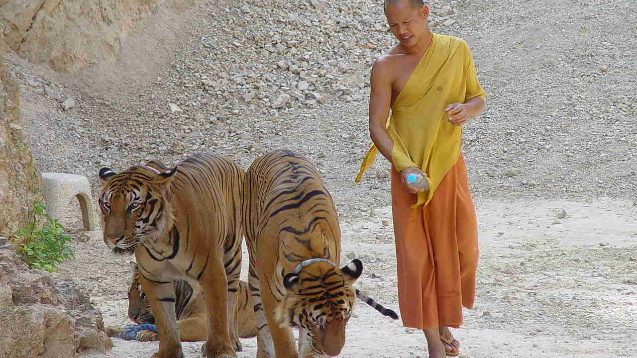 The tigers along with a monk in Thailand's tiger temple. image credit: Michael Janich