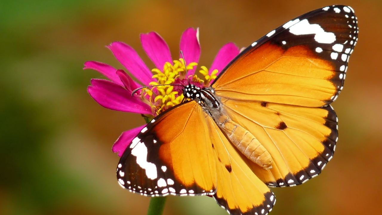 Butterflies and asters both diversified in the wake of the end-mass extinction. Image: Wikimedia Commons