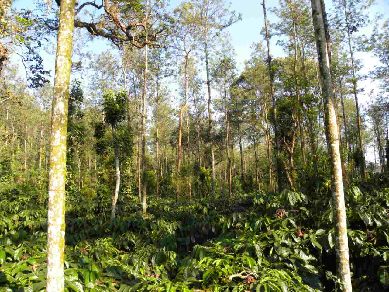 Kodagu, coffee, climate change: An agroforestry scientists notes on the connection