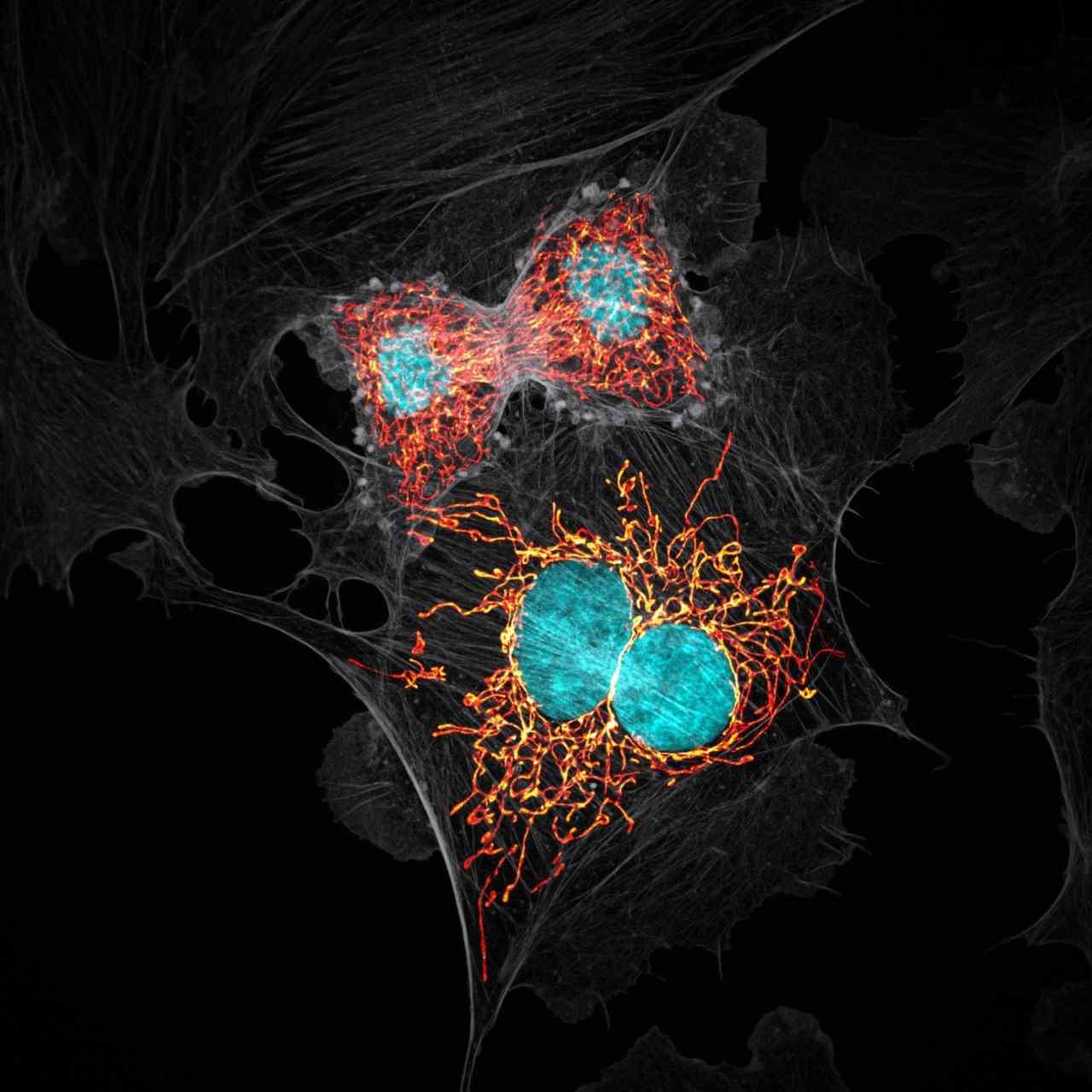 BPAE (Bovine Pulmonary Artery Endothelial) cells in telophase stage of mitosis. Image: Jason M Kirk/Nikon Small World