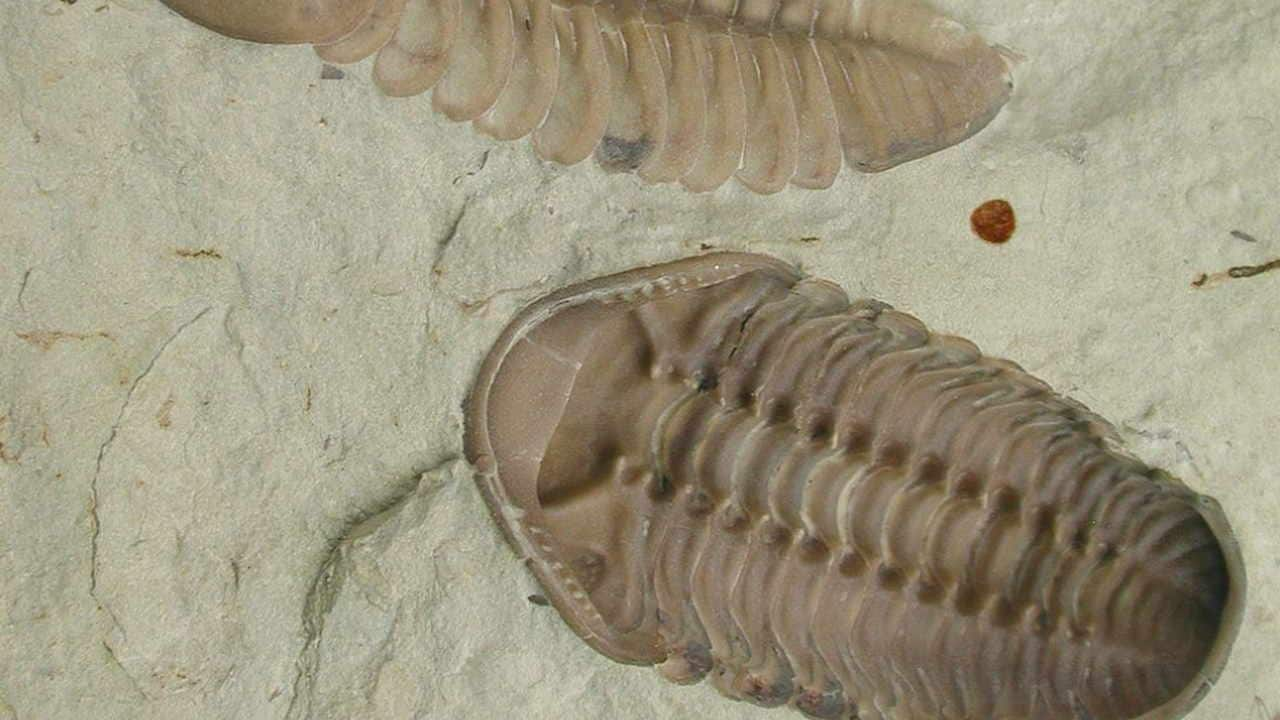 This fossil shows the internal surface of the exoskeleton of the trilobites. Image credit: WIkipedia