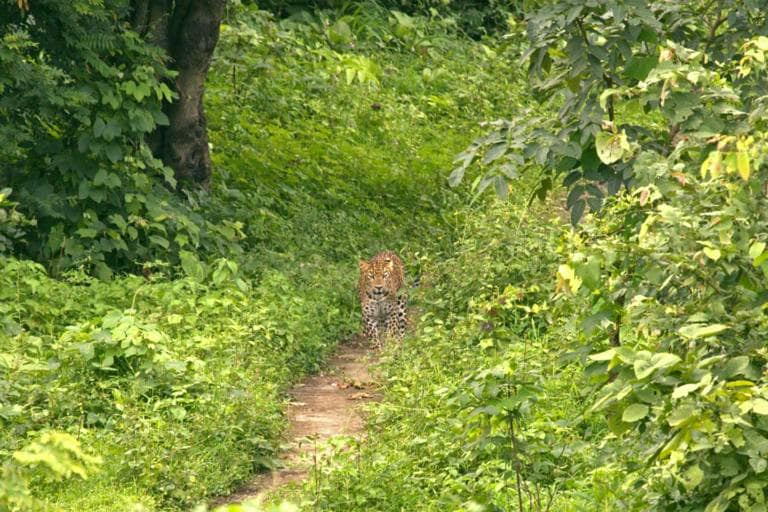 A leopard walks on a path used by locals in Aarey. image credit: Sunny Patil.