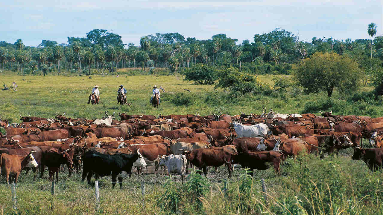 Areas used for cattle pasteurising needs to decrease in order to build renewable energy plots. Image credit: Britannica