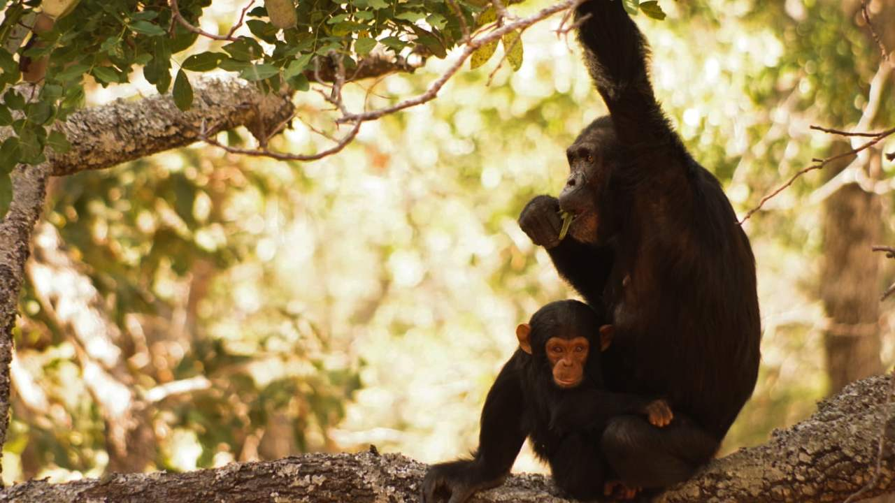 Wildlife Week 2019: Scientists on the frontline desperately trying to protect chimps from poaching for zoos, pet markets, tourism