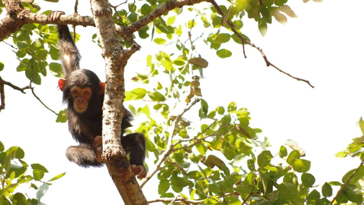 Kitu was only two years old when she died. Protecting future generations of chimpanzees will take a coordinated effort by governments and researchers.