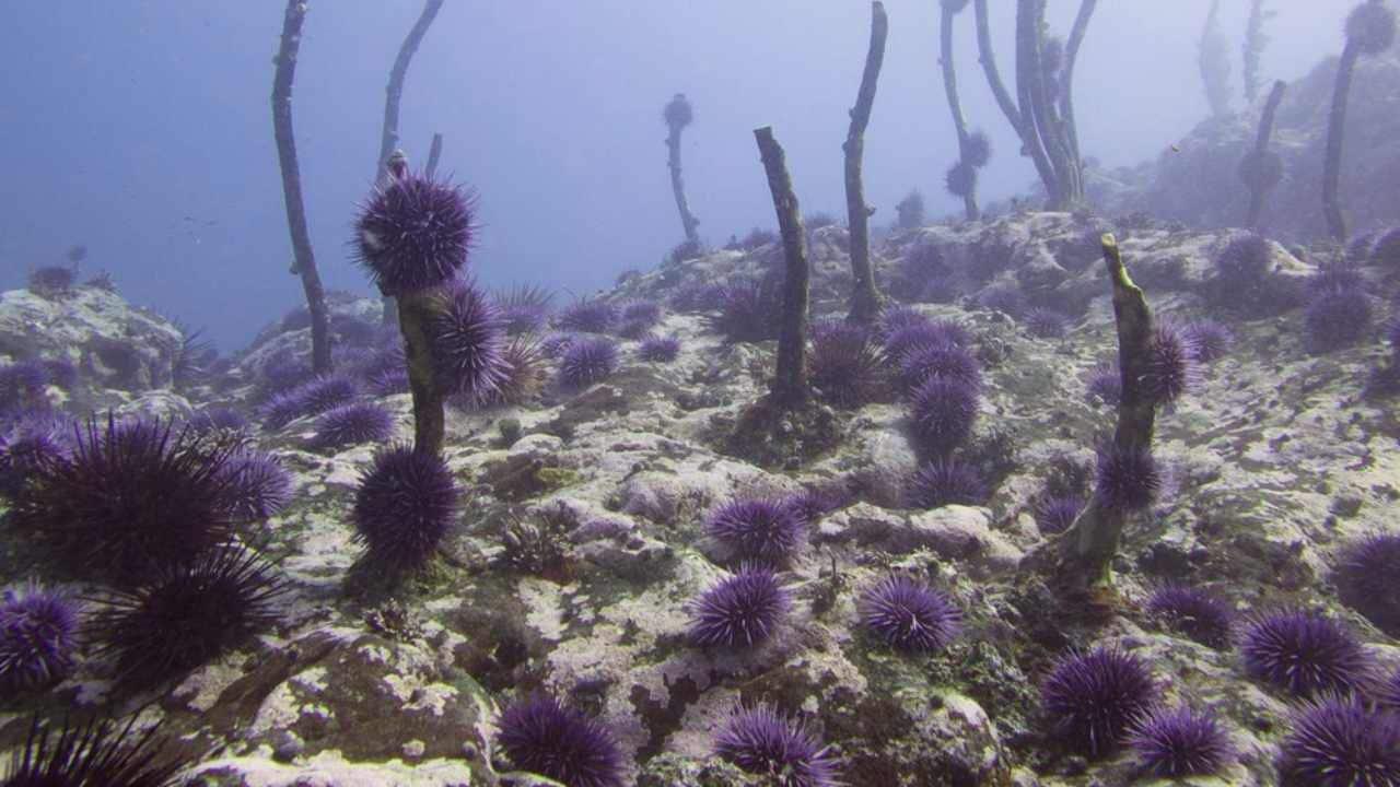 Underwater annihilation: Purple sea urchin swarm wreaks havoc along US West Coast
