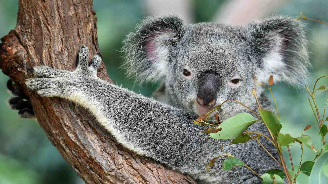 'Koala AIDS' research shows the species evolving a natural defense against the virus- Technology News, Firstpost
