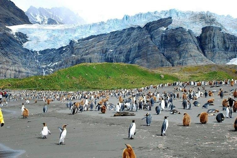 Sub-Antarctic islands such as South Georgia, which provides a home to the largest King penguin colonies on the planet, are especially vulnerable to climate breakdown. image credit: Sascha Grabow/Wikimedia Commons, CC BY-SA