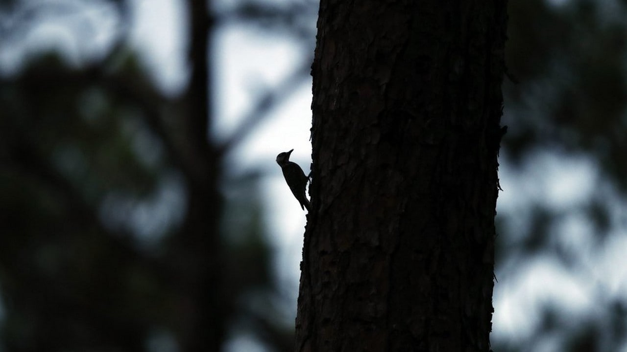 A red-cockaded woodpecker prepares to enter its roosting cavity for the night in a long leaf pine forest in Southern Pines, N.C. The woodpecker was one of the first birds protected under the Endangered Species Act of 1973. Image credit: AP