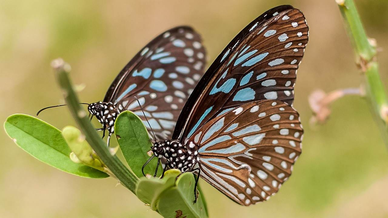 Cacoon-less butterflies, on Earth, snacking on some leaves. Image credit: Wikipedia