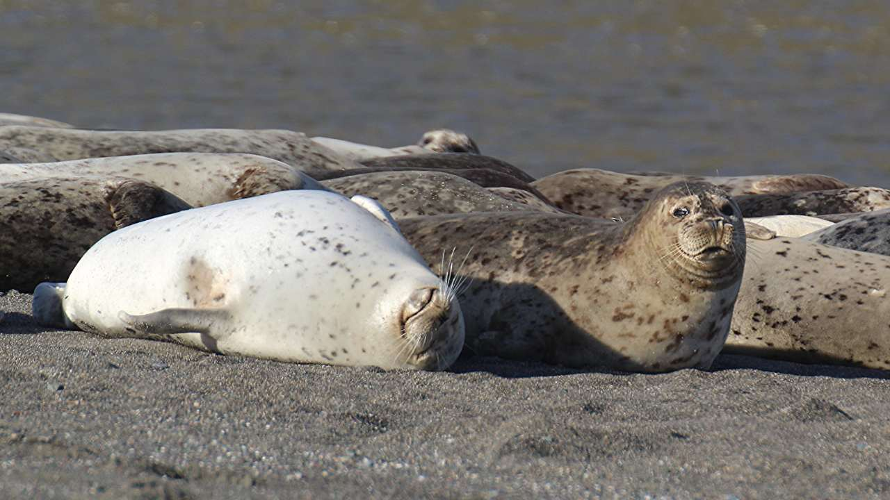 Pinnipeds in bed – a pair of harbor seals near the Russian river. Image: Mark Gunn/Flickr