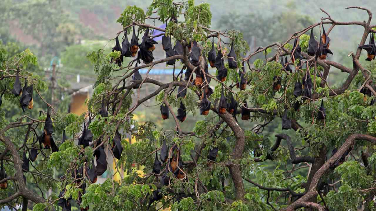 A colony of Indian flying fox. Bats and a range of mammal groups are natural carriers of coronaviruses. But the bat coronavirus is different from the SARS-CoV-2 virus that caused COVID-19. Photo by Harshjeet Singh Bal/Flickr.