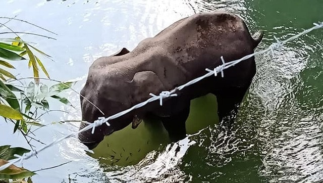Pregnant elephant dies standing inside river after being fed pineapple filled with firecrackers in Kerala's Malappuram