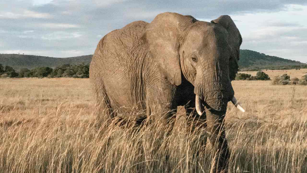 African elephants make it to the IUCN's red list due to poaching, shrinking populations- Technology News, Firstpost